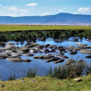 TZ.AR.Ngorongoro Krater Nilpferde Blick auf Nilpferde in einem Teich