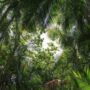 SC.Vallée_de_Mai_Nationalpark Der grüne Palmenwald des Vallée de Mai Nationalparks auf den Seychellen