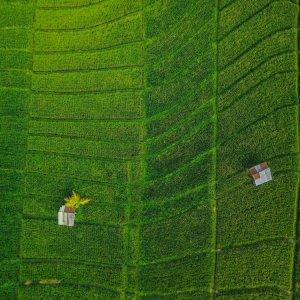 Bali.Canggu.Reisfelder Luftaufnahme von sattgrünen Reisfeldern in Canggu, Bali