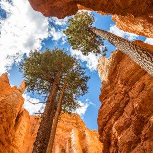 US.AR.Bryce Canyon Nationalpark Bäume Zwei Bäume zwischen den Felsen von unten fotografiert