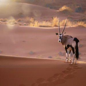 NA.Deadvlei_Nationalpark Ein Spießbock vor Sanddünen-Kulisse