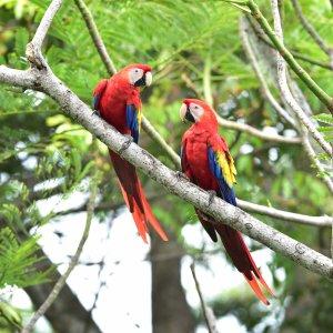 CR.Nationalpark Corcovado Papagei Zwei Papageien auf einem Ast im Corcovado Nationalpark