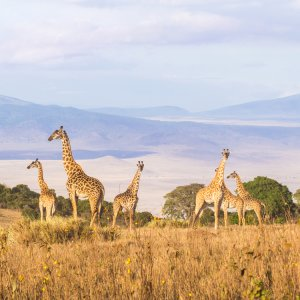 TZ.AR.Ngorongoro Krater Giraffen Blick auf Giraffen im Krater