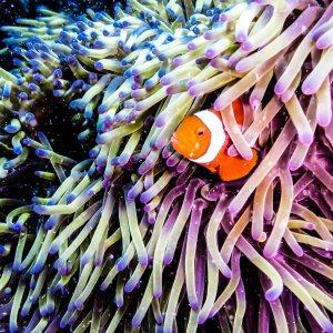 AU.Great Barrier Reef.Clown Fish Clown Fish versteckt in einer Seeanemone.