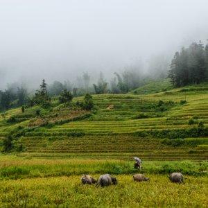 VN.Sa_Pa_Wasserbueffel Der Blick auf grasende Büffel inmitten der grünen Reisfelder.