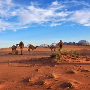 JO.Wadi_Rum_Kamele Der Blick auf eine Kamelherde in der Wüstenlandschaft Wadi Rum, Jordanien.