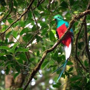CR.Monteverde_Santa_Elena_Quetzal Der Blick auf einen im Baum sitzenden bunten Quetzal Vogel.