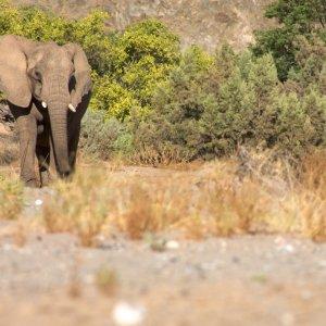 NA.Skelettkueste_Elefant Ein Elefenat im Flussbett der Wüste der Skeletonküsten