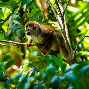 CR.Cahuita Nationalpark Affe Totenkopfäffchen im Baum