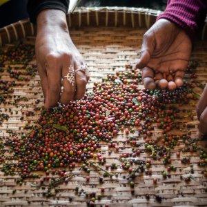 KH.Kampot_Pfefferplantagen Der Blick auf die Hände von Arbeiterinnen, die frische bunte Paprikapfefferkörner sortieren und selektieren bei Kampot, Kambodscha.