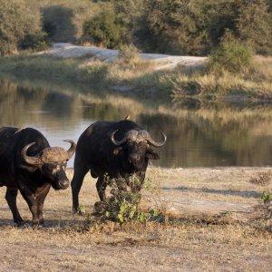 ZA.Sabi Sand Game Reserve Büffel Zwei Büffel bei Tag