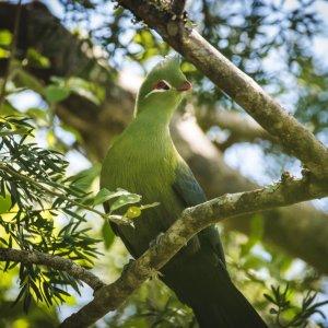 "ZA.Knysna.Vogel Nahaufnahme des grün gefiederten Vogels ""Knysna Turaco"""
