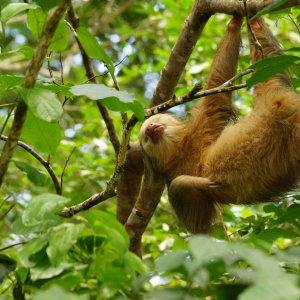 CR.Monteverde_Santa_Elena_Faultier Der Blick auf ein im Baum hängendes Faultier.