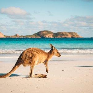 AU.Kangaroo Island Ein Kangaroo auf Kangaroo Island am Strand