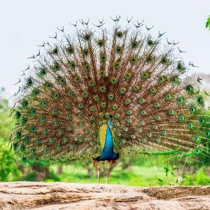 LK.Yala National Park Pfau