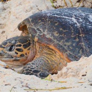 SC.Bird_Island_Karettschildkröte Der Blick auf eine Karettschildkröte im Sand.