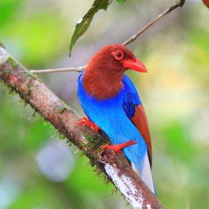 """LK.Sinharaja_Forest_Reserve_Vogel Der rot und blau gefiederte Rabenvogel """"Schmuckkitta"""" im """"Sinharaja Forest Reserve"""""""