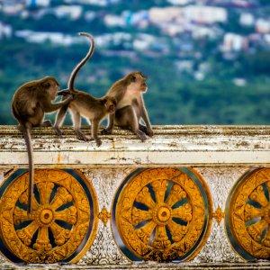 TH.AR.Krabi Affen Blick auf drei Affen