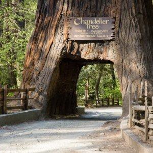 Ein Mammutbaum mit eingeschnitztem Tunnel im Seqoia Nationalpark auf dem Highway 1, USA