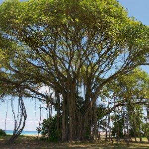 SC.Frégate_Island_Banyan_Tree Der Blick von unten auf einen Banyan Tree.