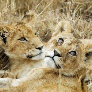 TZ.AR.Tarangire Nationalpark Löwen Zwei Löwinnen