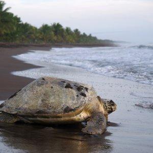 CR.Nationalpark_Tortuguero_Meeresschildkröte Costa Rica Tortuguero Nationalpark Regenwald Strand Schildkröte