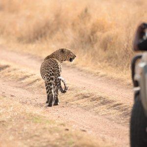 TZ.AR.Serengeti Nationalpark Gepard Blick auf einen Gepard auf einer Straße