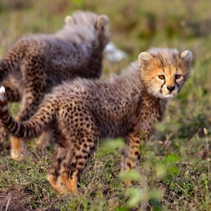 TZ.AR.Ngorongoro Krater Geparden Baby Zwei Geparden Babys