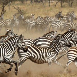 TZ.AR.Serengeti Nationalpark Zebras Eine Herde Zebras beim Laufen