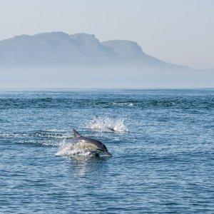 ZA.Robben Island 4 Delfine im Meer