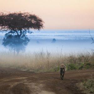 KE.Nairobi.Hyäne