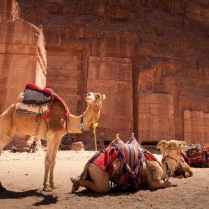 JO.Wadi Musa Mobilität Der Blick auf liegende und stehende Kamele vor roten Felsen und Steine in der Region Wadi Musa, Jordanien.