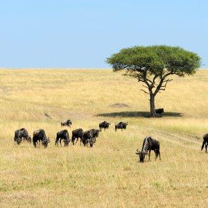 TZ.AR.Serengeti Nationalpark Gnus Blick auf viele fressende Gnus bei Tag