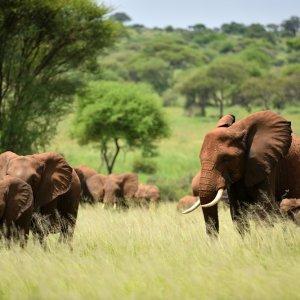 TZ.AR.Serengeti Nationalpark Main Blick auf eine Elefantenfamilie bei Tag