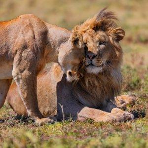 TZ.AR.Ngorongoro Krater Löwen Zwei Löwen, die miteinander kuscheln