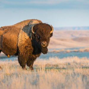 Kanada Saskatchewan südkanadische Provinz Saskatchewan Grasslands Nationalpark amerikanisches Bison
