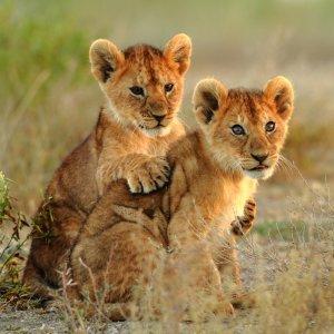 TZ.AR.Serengeti Nationalpark Baby Löwen Zwei Baby Löwen