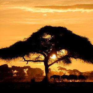 Amboseli NP Sonnenuntergang mit Baum