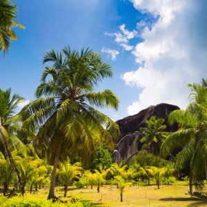 """SC.La_Digue_Kokosplantage Kokospalmen auf der Kokosnussplantage, """"L'Union Estate"""" auf der Insel La Digue, Seychellen"""