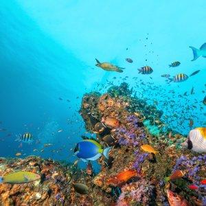 MV.Nord_Ari_Atoll_Unterwasserwelt Unterwasser-Blick auf die bunte Fischvielfalt am bunten Korallenriff von North Ari Atoll, Malediven