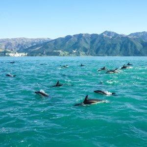 NZ.Kaikoura_Schwarzdelphin Der Blick auf einen Schwarm von Schwarzdelfinen vor der Küste von Kaikoura.