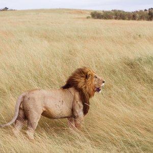 Löwe im Amboseli NP Löwe im Amboseli NP