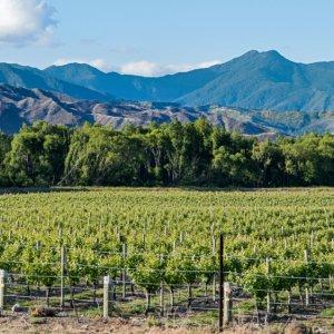 NZ.Nelson_Weinregion Der Blick auf grüne Weinreben und Bergen im Hintergrund.