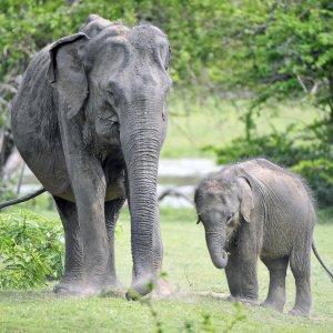 LK.Yala National Park Elefanten