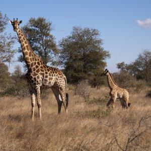 ZA.Sabi Sand Game Reserve Giraffen Blick auf zwei Giraffen