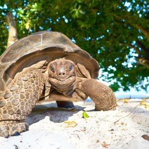 SC.La_Digue_Schildkroete Nahaufnahme einer lachenden Schildkröte