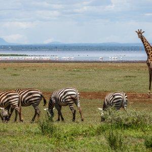 TZ.AR.Lake Manyara Nationalpark Zebras Eine Zebraherde und eine Giraffe