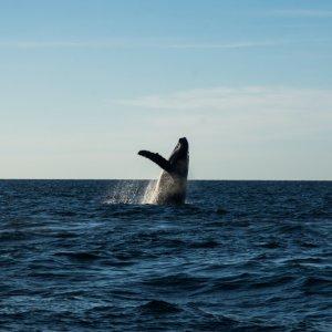 MX.Islas_Marietas_Nationalpark_Buckelwal Ein Buckelwal tummelt sich bei den Islas Marietas