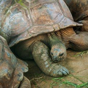 MU.Botanischer_Garten_von_Pamplemousses_Riesenschildkröten Die Riesenschildkröten des Botanischen Garten von Mauritius