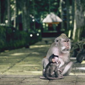 Bali.Monkey_Forest_Ubud_Affen Mandala Wisata Wenara Wana Monkey Forest Ubud Affenwald Ubud Sacred Monkey Forest Sanctuary